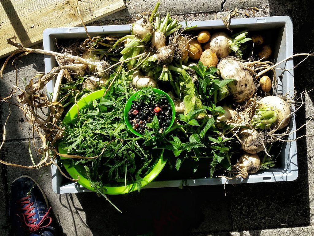 Wurzelgemüse, Salate und Beeren aus dem eigenen Gartenanbau. Alte Sorten.
