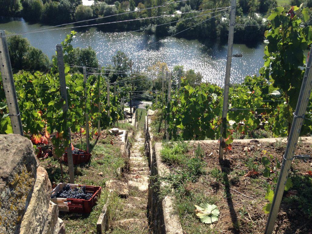 Weingut Lassak, Blick auf den Neckar durch die Weinberge