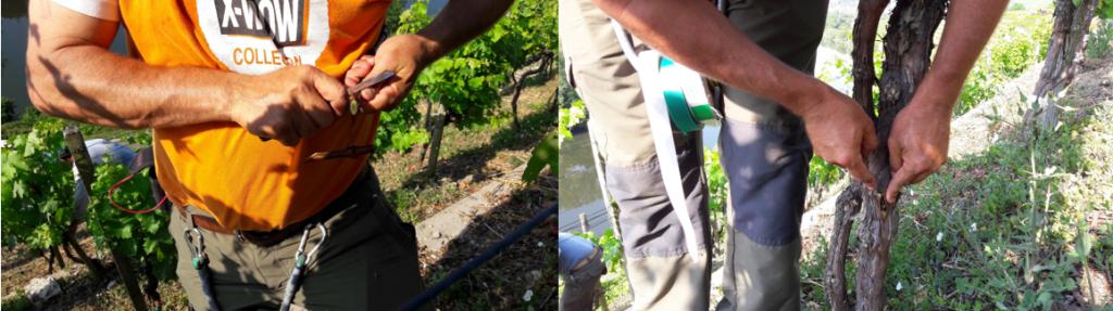 Umveredelung von Weinreben